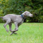 أسرع الكلاب في العالم