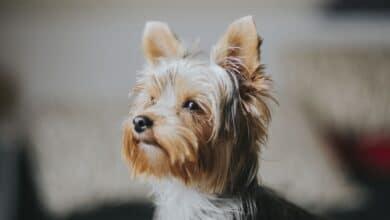 الكلاب الصغيرة الهادئة ذات الطبع المعتدل