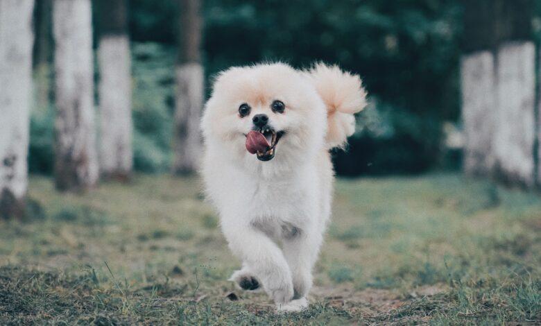 بومرينيان كلب صغير طويل الشعر من نوع سبيتز الجميل