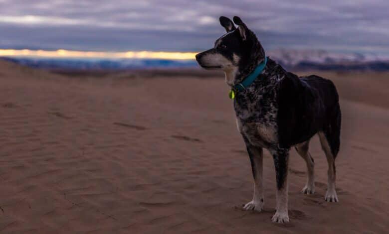 طوق الكلب وخطوات الحصول على أجود الأنواع