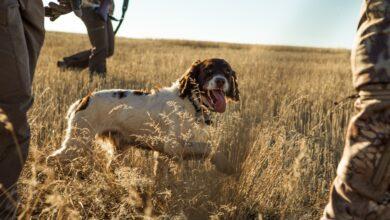 كلاب الصيد الفريدة والأفضل لهذه المهمة