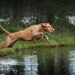 كلاب الطقس الحار التي تتحمل الشمس الحارقة