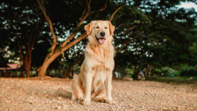 كلاب جولدن صاحبة الفراء الذهبي المغري بالمشاهدة