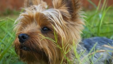 كلاب للشقق الصغيرة حسب حجمها ومساحة مكان العيش