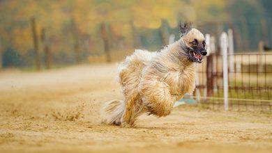 كلب الصيد الأفغاني