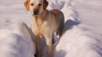 لابرادور ريتريفر كلب الصيد والرياضة والعائلات