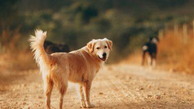 المسترد الذهبي كلب الأسرة