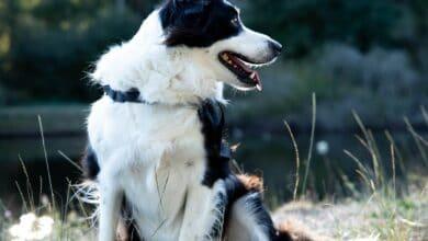 بوردر كولي كلب الرعي