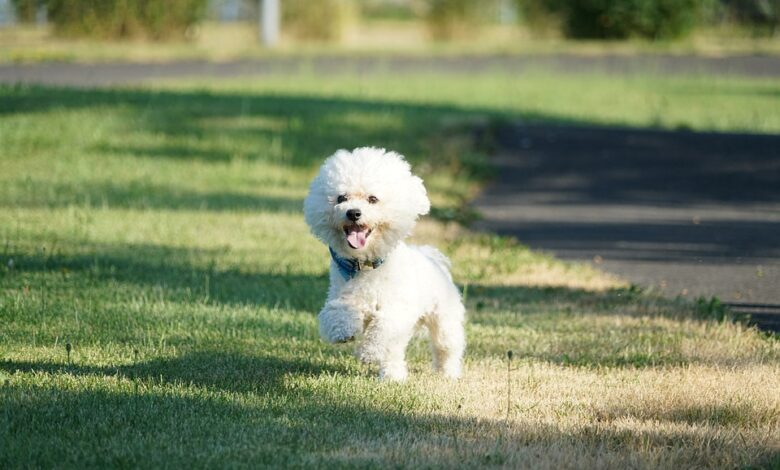 بيشون فريز كلب صغير