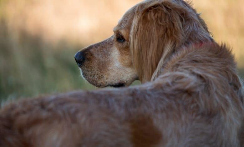 مرض لايم عند الكلاب