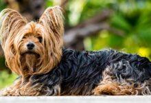 يوركشاير ترير كلب الرفقة
