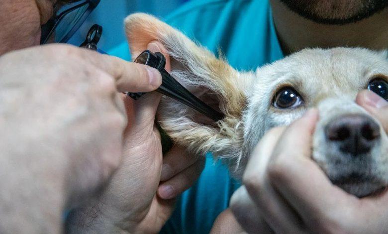 إلتهاب الأذن عند الكلاب