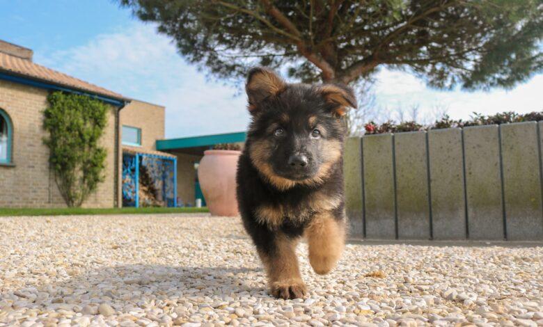 تدريب كلب الراعي الألماني