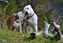 تزاوج الكلاب