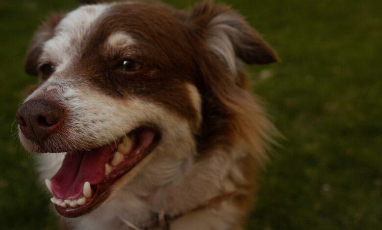 رائحة الفم الكريهة عند الكلاب