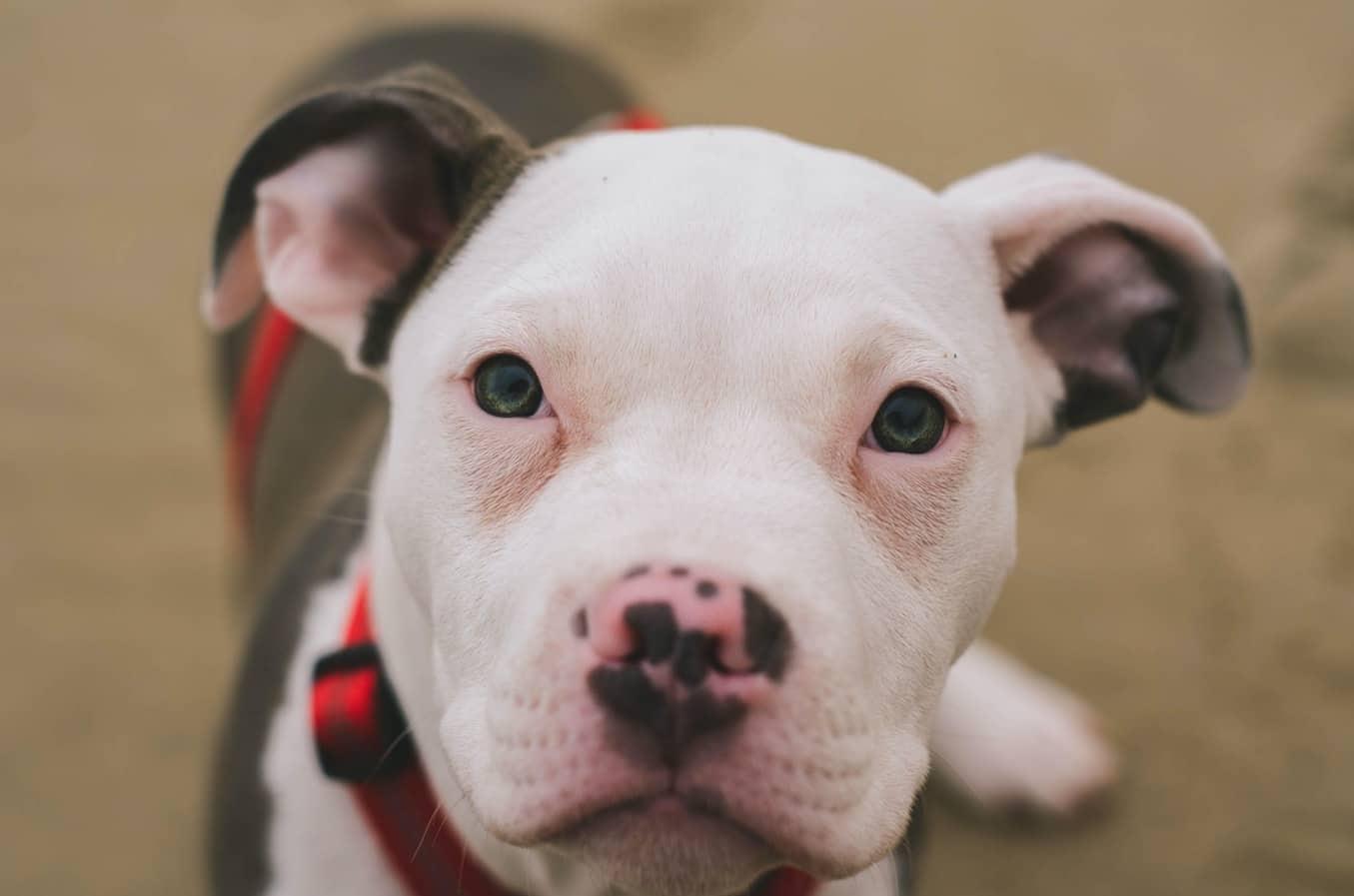 كلب بيتبول الموزع على مختلف الأنواع المتعددة الخصائص لكل صنف