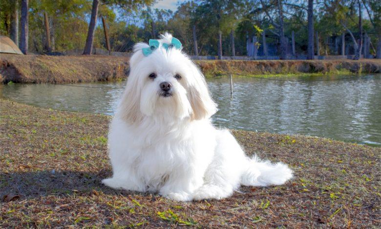 لاسا أبسو كلب زينة
