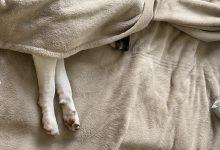 مرض الدودة القلبية لدى الكلاب