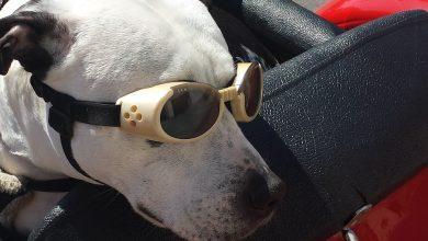 نظارات الكلاب