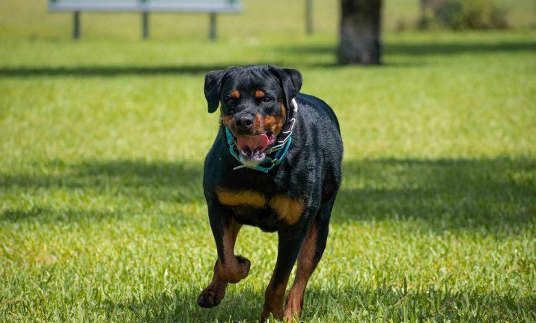أسعار الكلاب الروت وايلر