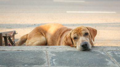 تغذية الكلاب مريضة القلب
