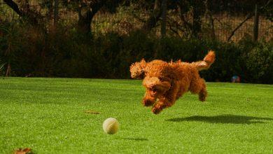 كرة الكلب