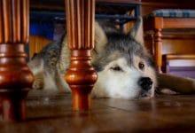قلق الانفصال عند الكلاب