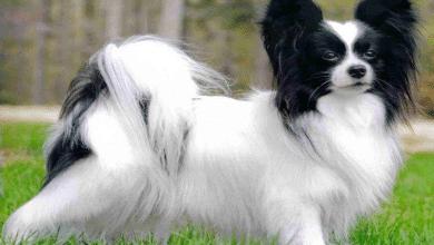 كلب بابيلون