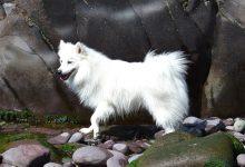 كلب سبيتز الياباني