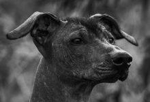 كلب الشولو